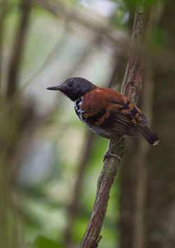 Spotted Antbird male Costa Rica 2012 Keith Offord