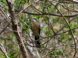 Mangrove Cuckoo, Costa Rica by Paco Madrigal