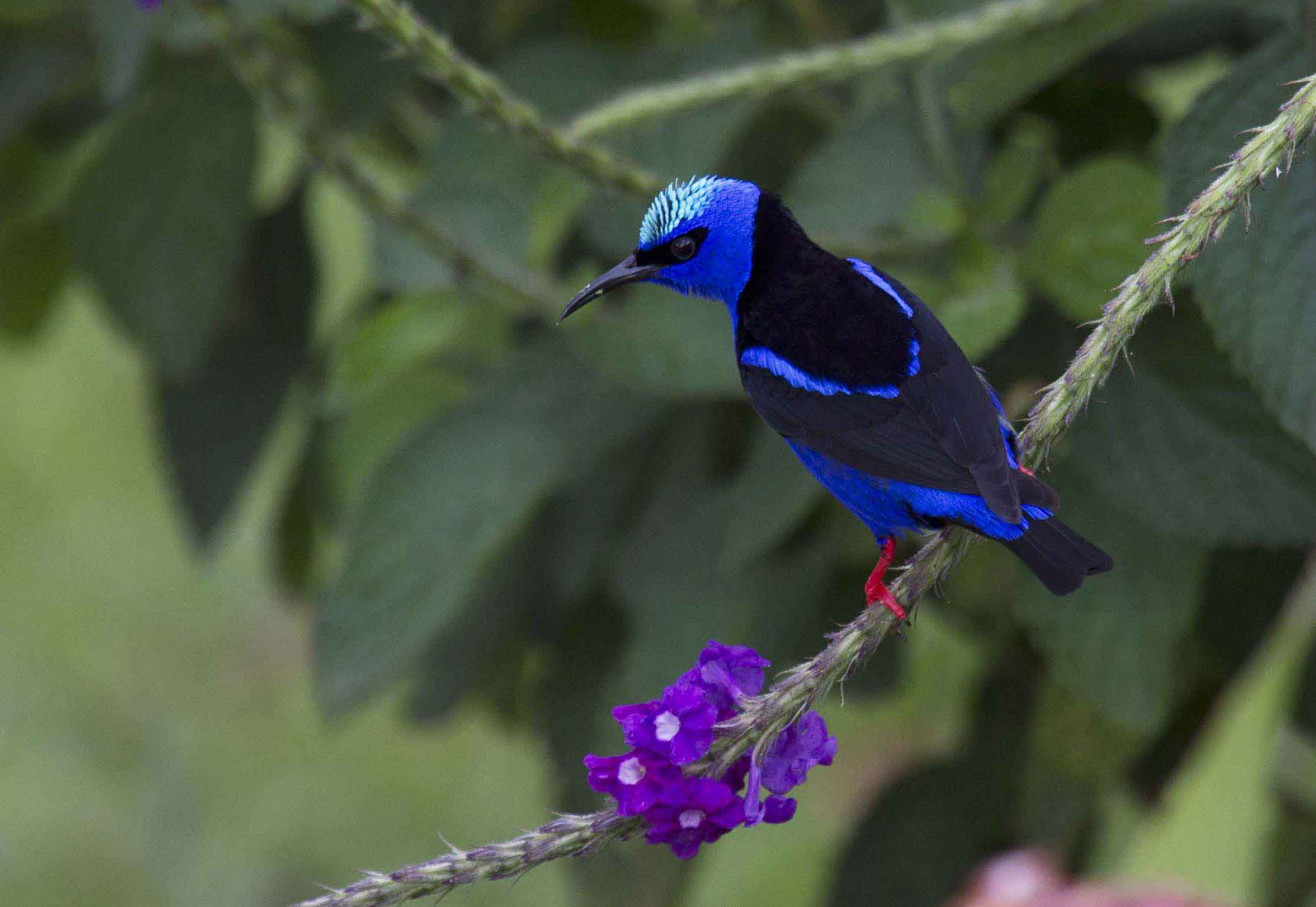 Red-legged Honeycreeper Costa Rica 012
