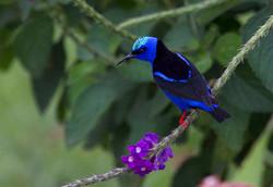 Red-legged Honeycreeper Costa Rica 012
