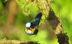Fiery-throated Hummingbird, Costa Rica by Paco Madrigal