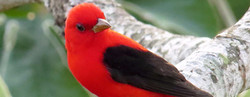 Scarlet Tanager, Costa Rica by Paco Madrigal_edited_edited