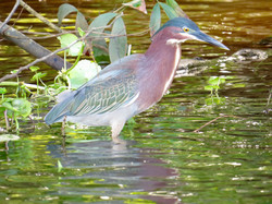 Green Heron, Costa Rica by Paco Madrigal