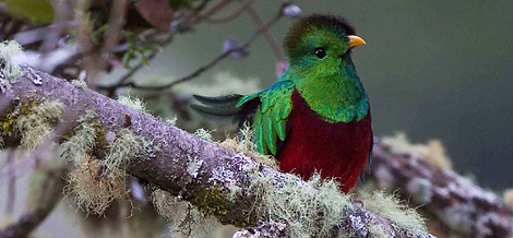 Resplendent Quetzal photo taken on one of our Costa Rica birding tour
