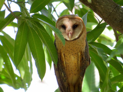 Barn Owl, Costa Rica by Paco Madrigal