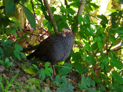 Buffy-crowned Wood-Partridge, Costa Rica by Paco Madrigal (1)