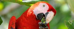 Scarlet Macaw, Costa Rica_edited_edited