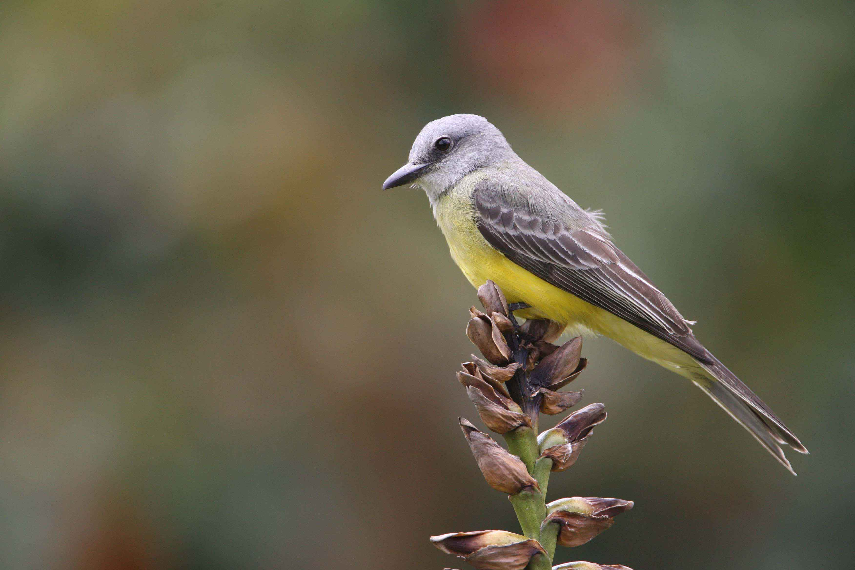 Tropical Kingbird Costa Rica 2008 keith Offord