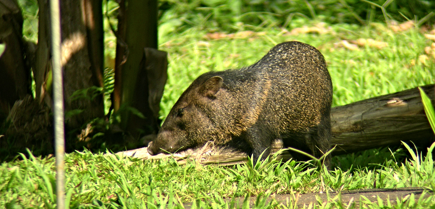 Peccary photo by Grimmond
