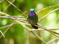 Purple-throated Mountain-gem, Costa Rica by Paco Madrigal