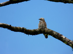 Great Potoo, Costa Rica by Paco Madrigal
