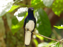 White-necked Jacobin, Costa Rica by Paco Madrigal