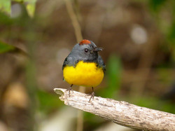 Slate-throated Redstart, Costa Rica by Paco Madrigal