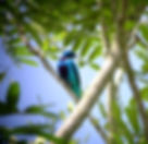Turquoise Cotinga shot on one of our Costa Rica birding tours