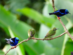 Red-legged Honeycreeper (males _ females), Costa Rica by Paco Madrigal