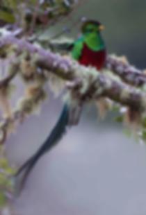 Resplendent Quetzal photographed in Savegre Costa Rica