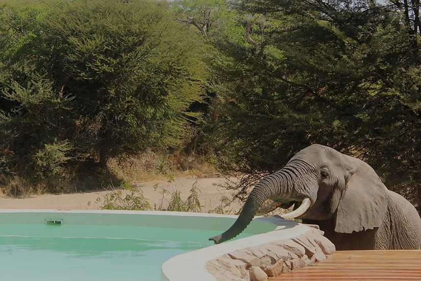 Swimming Pool Elephant Jongomero Ruaha Tanzania