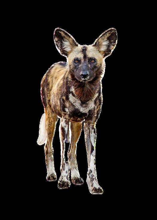 Wild Dog Zambia Luangwa