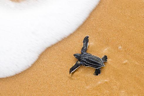 leatherback_turtle_baby.jpg