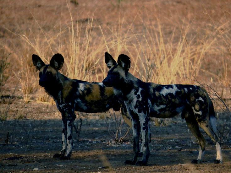 Wild Painted Dog Zikomo Luangwa Zambia