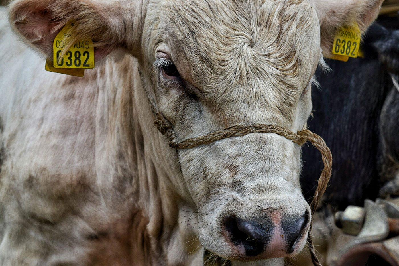 fiera-del-bestiame-2016-7