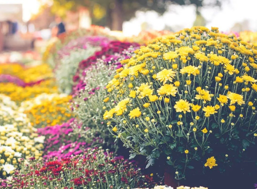 The Ultimate Guide to Fall Garden Mums