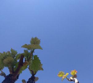 la vigne s'éveille (Photo Domaine d'Elie en Pays Catalan)