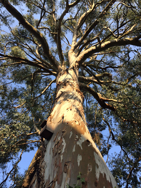 My Eucalyptus Tree