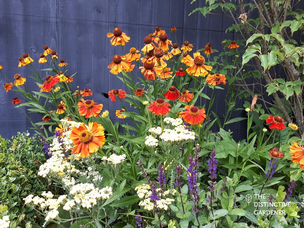 Flower bed with yellow Achillea, purple Salvia and orange Heleniums