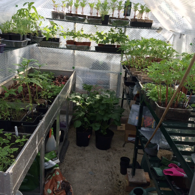 The fruits of my labour - a full greenhouse!