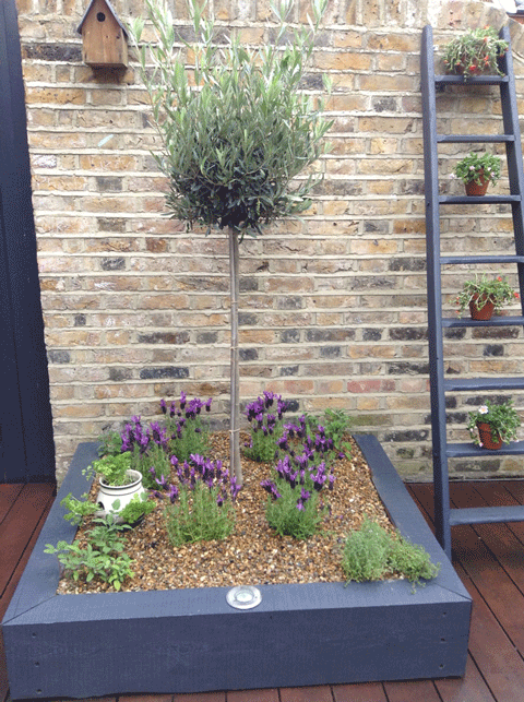 Raised box planting with olive tree
