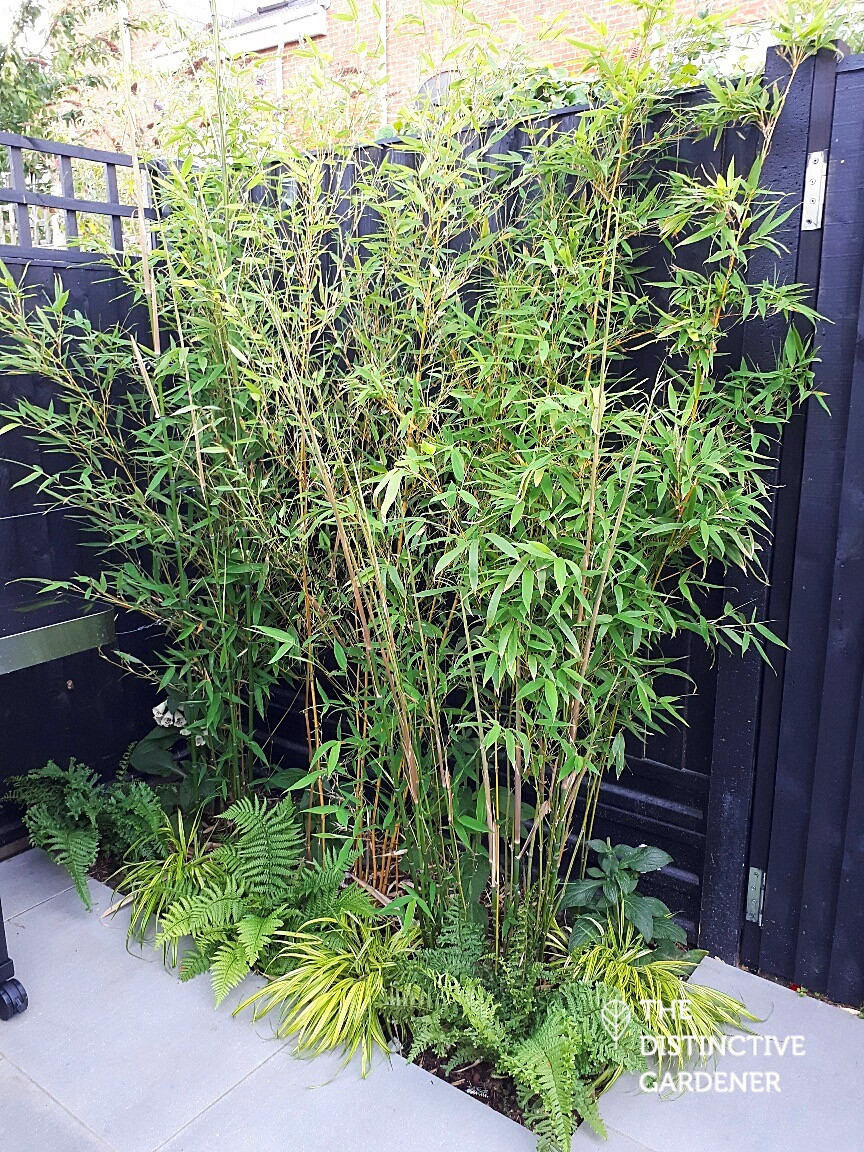 Golden Bamboo shoots underplanted with evergreens, ferns and foxgloves for seasonal interest