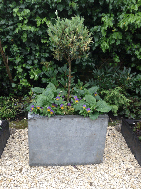 Metal planter with olive tree, violas and foxgloves