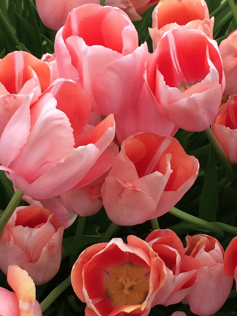 Chelsea Flower Show 2016: Bloms Bulbs tulip display