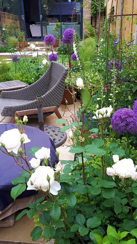 Late spring flowering purple alliums and summer flowering roses