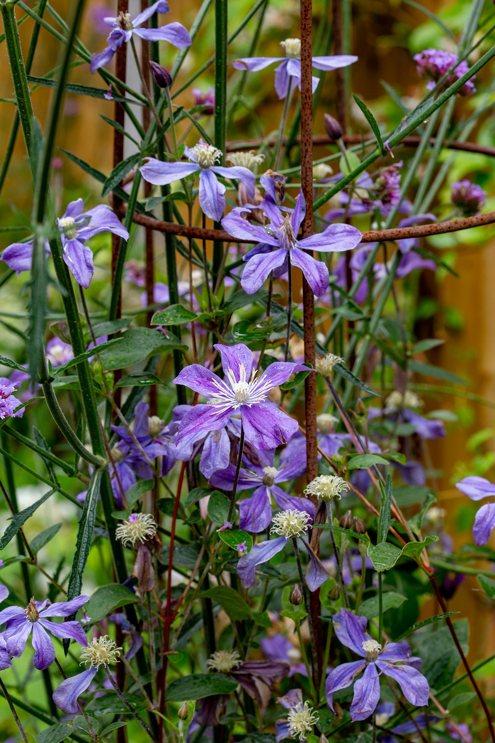 Clematis brings the garden to life