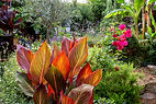 Canna overlooking the shed