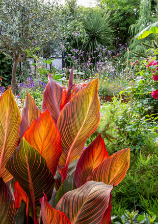 york-road-canna-looking-to-shed-jpg