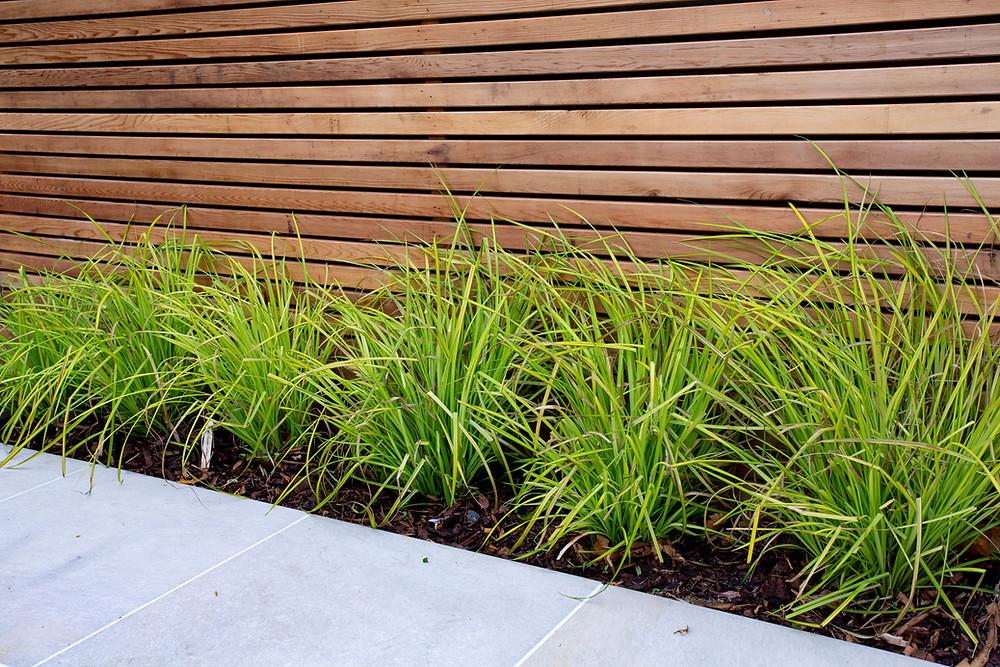 'Bowles Golden' Carex Aurea shrubs