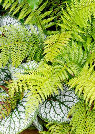 family-garden-fern-and-brunnerajpg