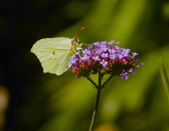 Butterfly-on-Verbena