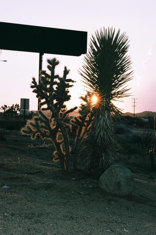 desert plants at sunset
