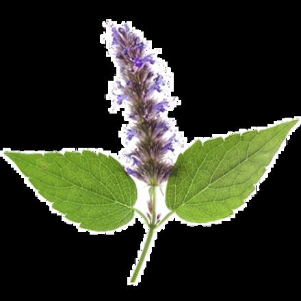Plant Picture_Patchouli.png