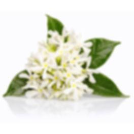 Neroli Plant Photo.jpg