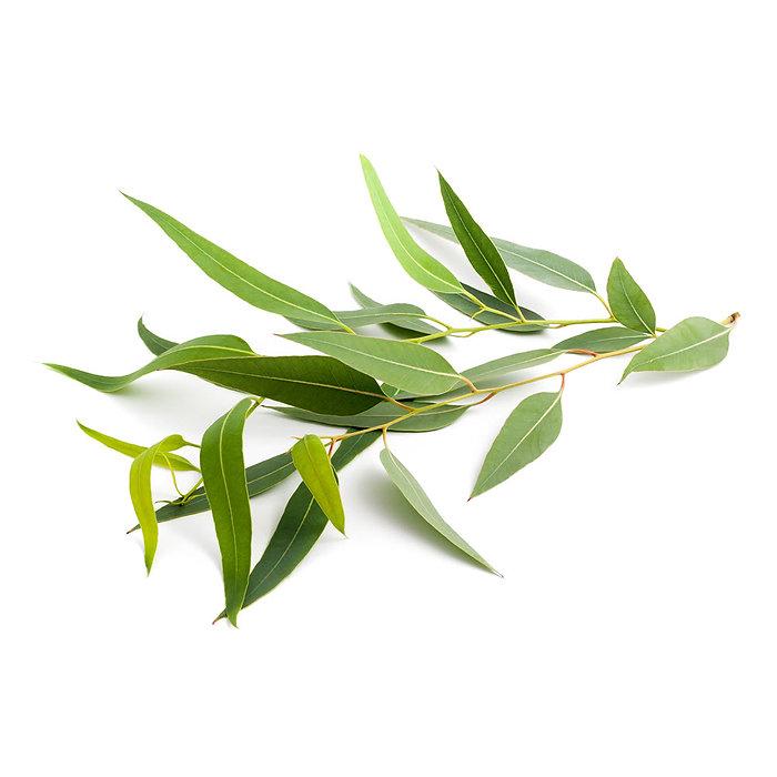 Eucalyptus leaves - Depositphotos_724132