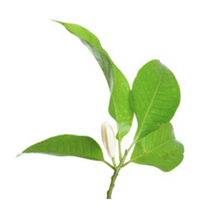 Plant Picture_Magnolia.png