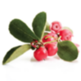 Plant Image_Wintergreen.png