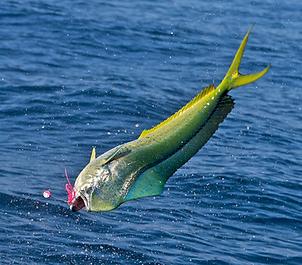 Dolphin Fishing Guatemala