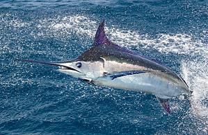 Marlin Fishing Guatemla