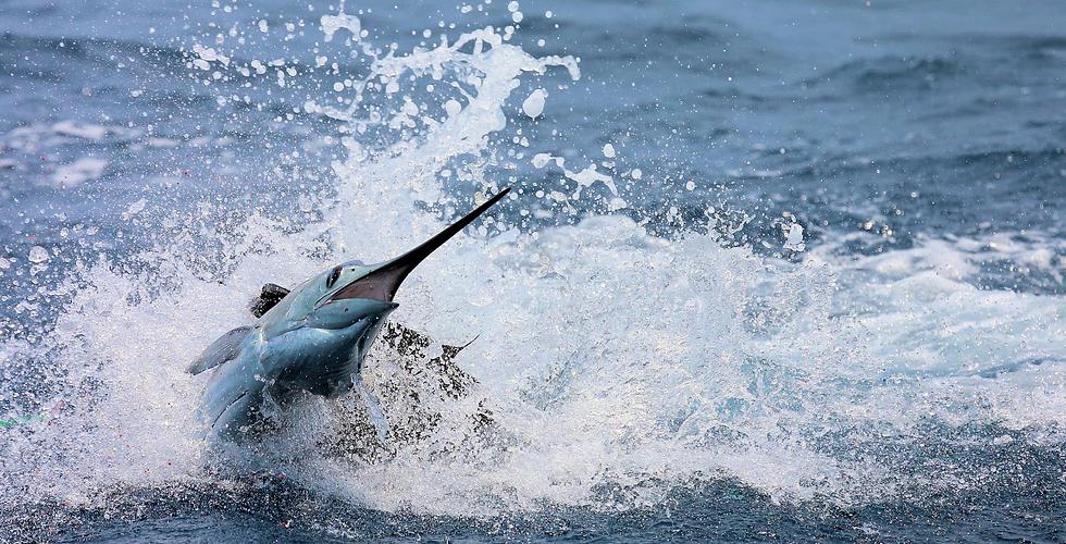 Blue Marlin Fishing Guatemala